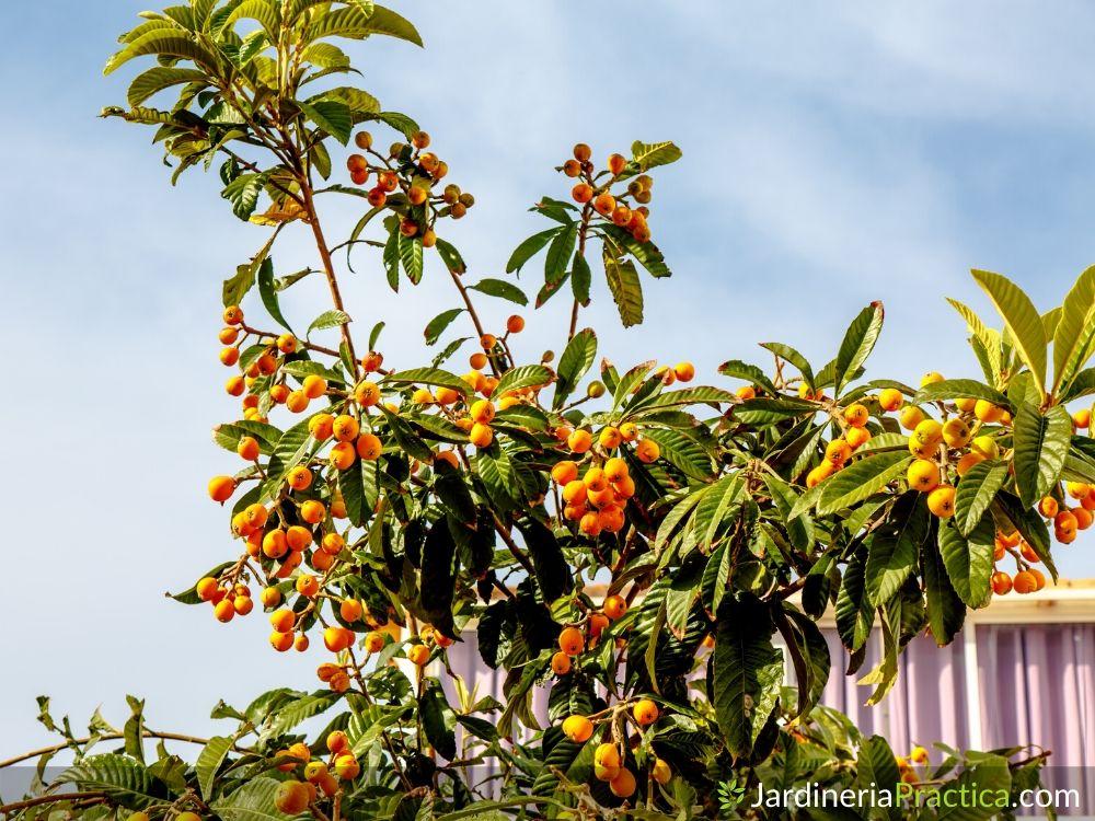 Árbol de Níspero: Características, consejos y cuidados 🌳
