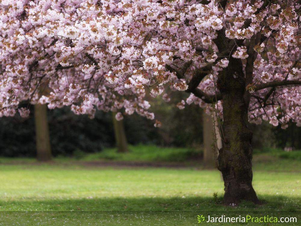 Árbol de cerezo