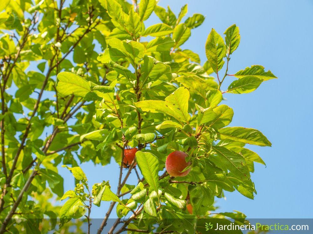 Árbol de ciruela fruto