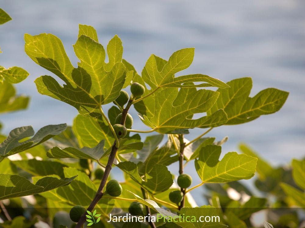 Árbol de higo