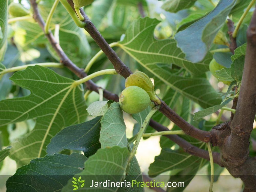 Árbol de higo (Ficus carica)