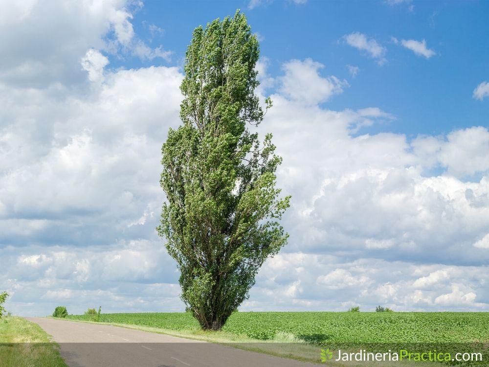 Árbol de Chopo