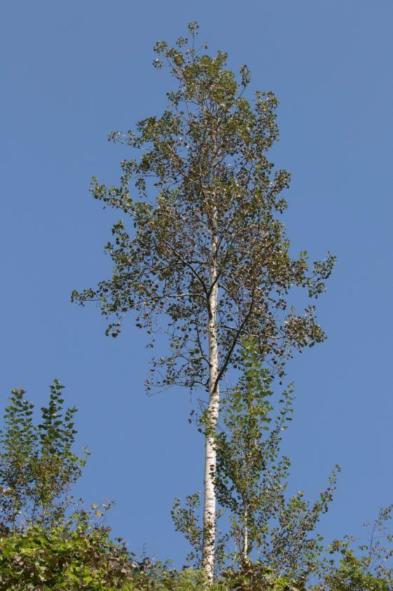 Árbol de Chopo (Populus tremula)
