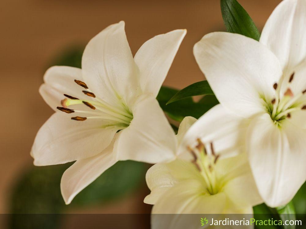 Azucena flor