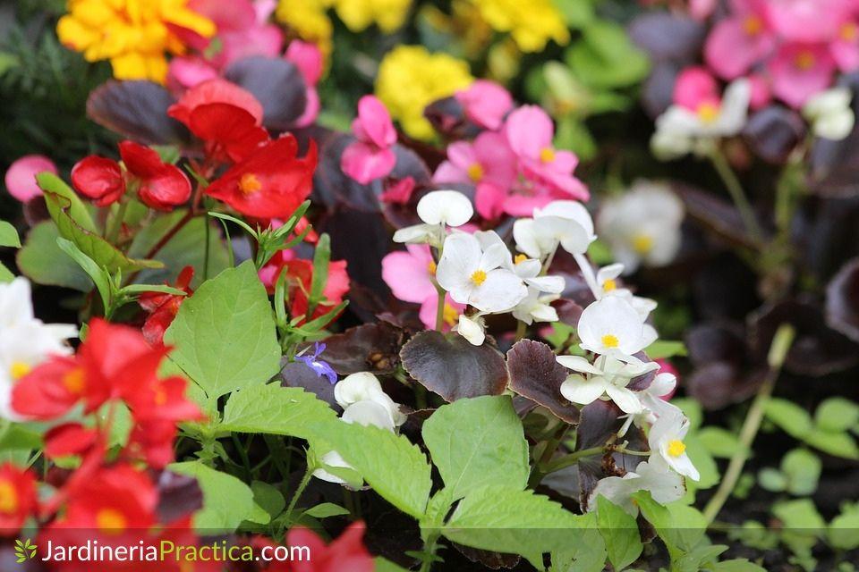 Begonia flor