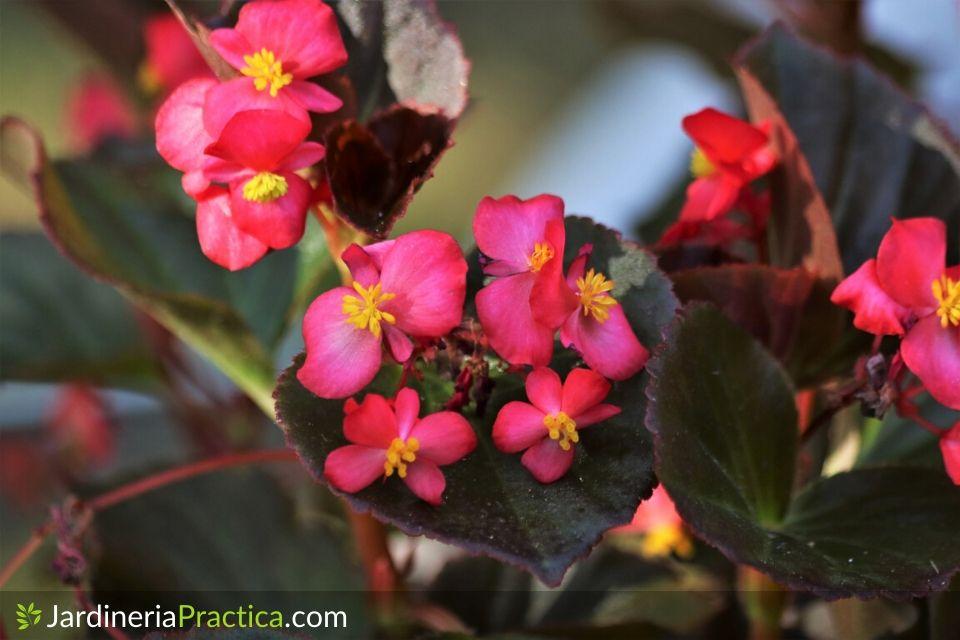 Begonia flores