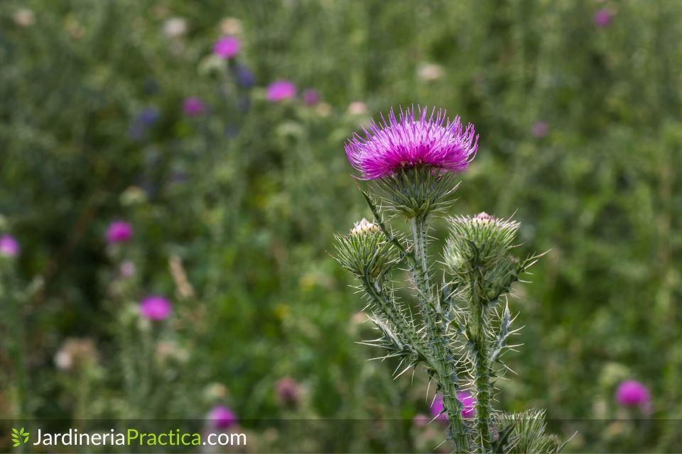 Cardo borriquero flor