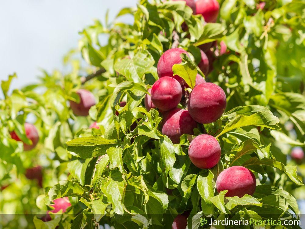 Ciruelo frutos