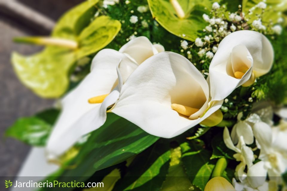 Flor de alcatraz cuidados