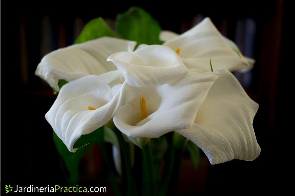 Flor de alcatraz foto