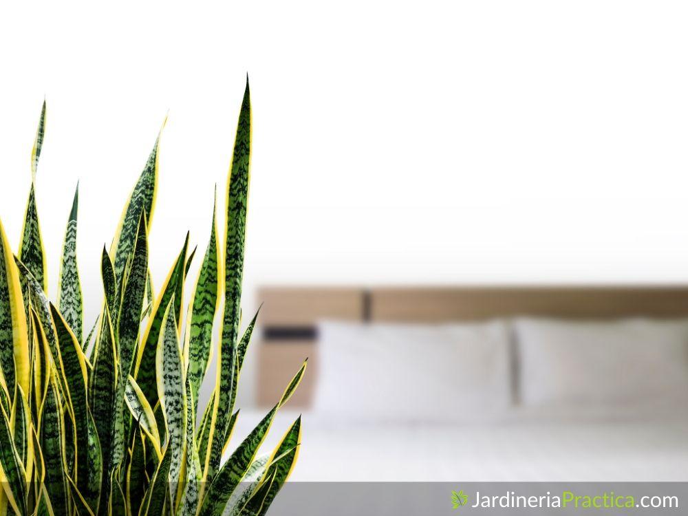Lengua de suegra planta usos
