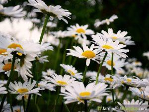 Flor margarita