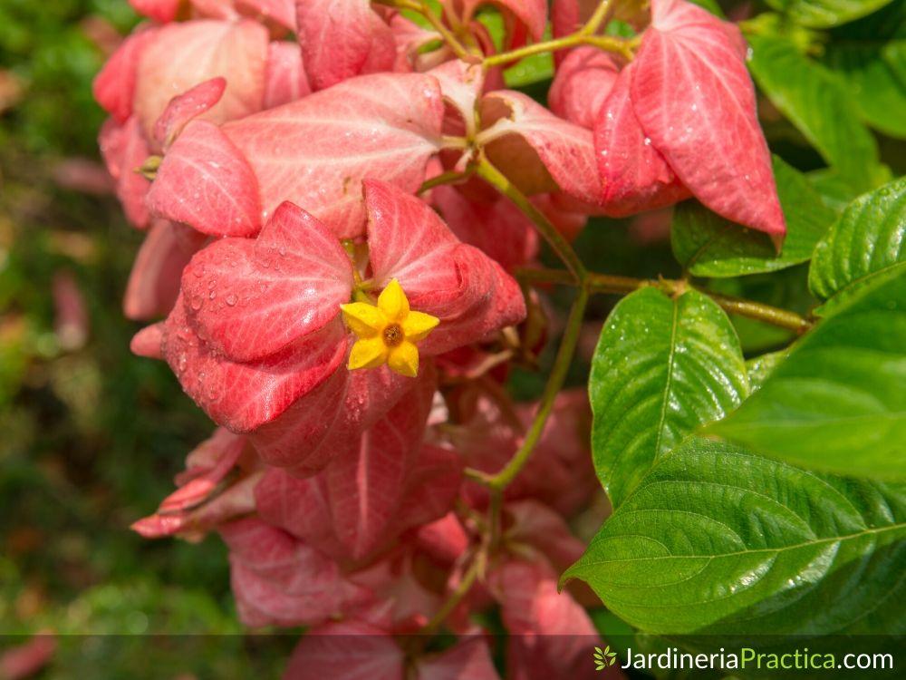 Mussaenda flor