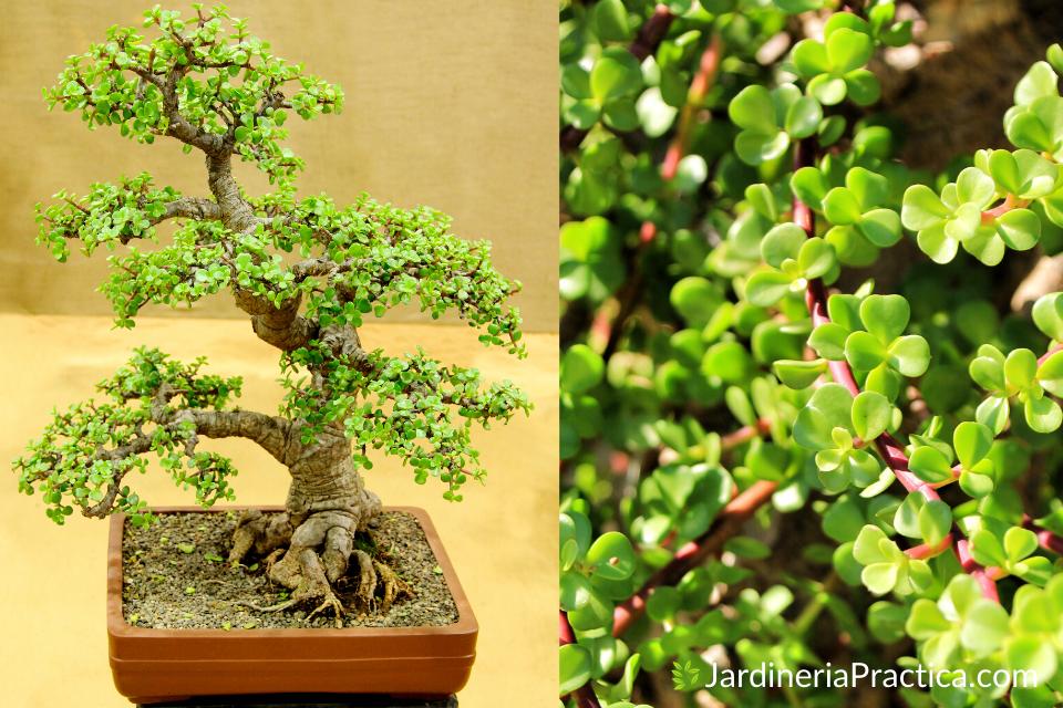 arbol de la abundancia bonsai