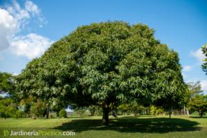 Árbol de Mango: características, cultivo, cosecha y abono