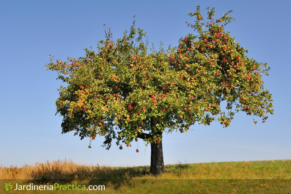 Manzano (Árbol de manzanas)