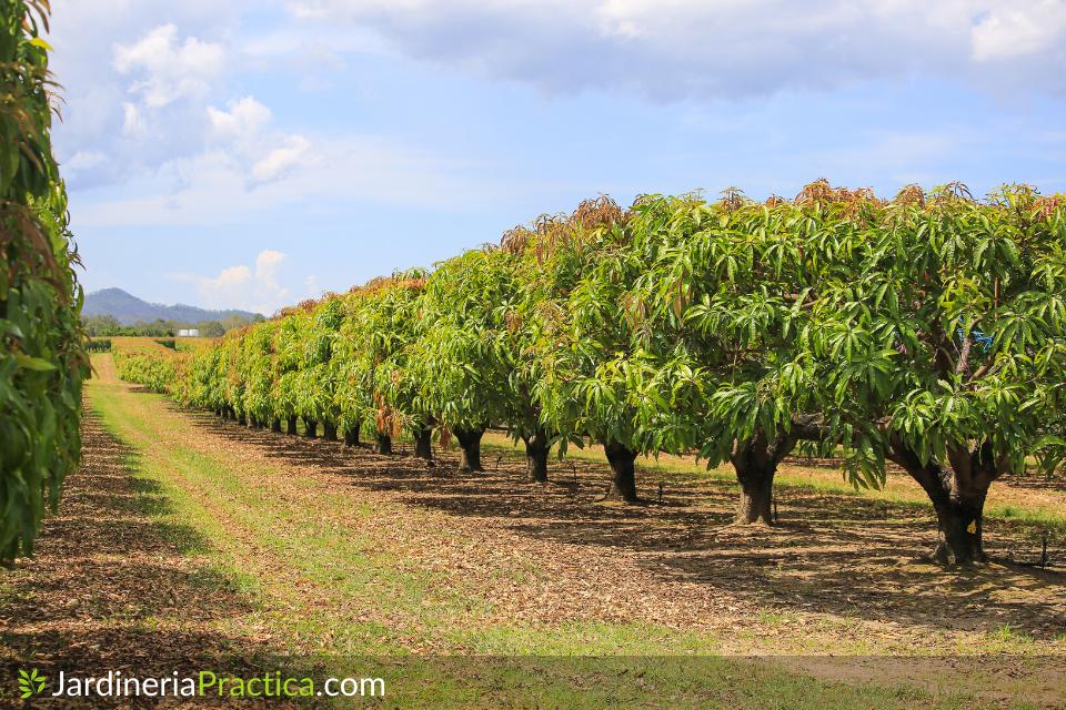 arboles de mango
