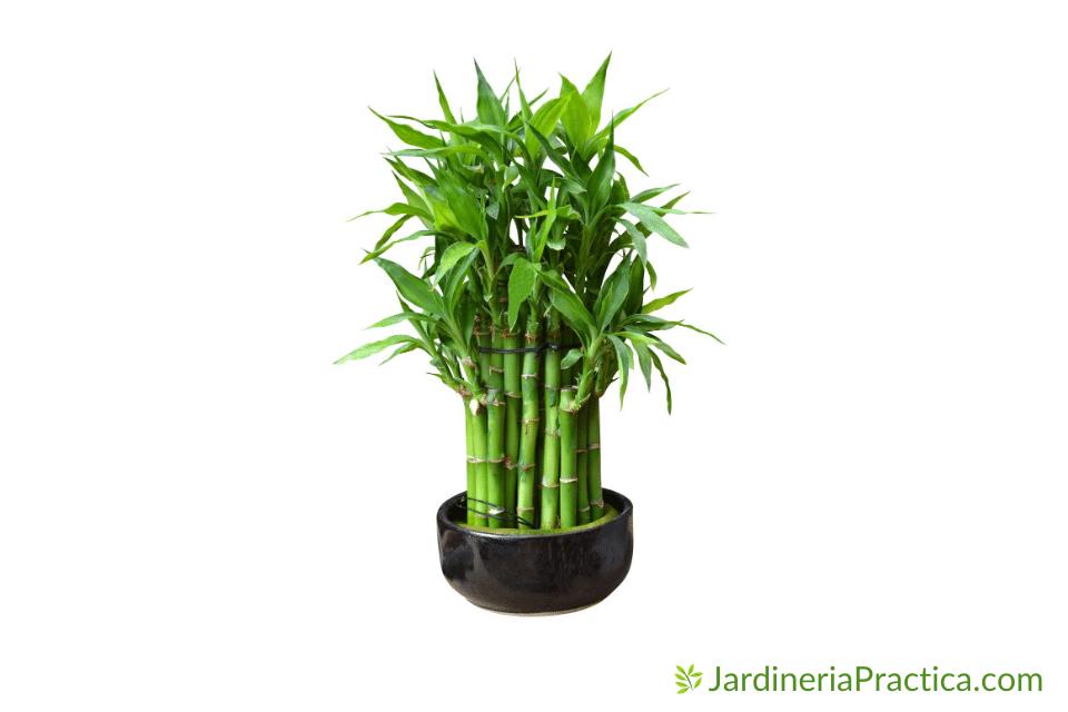 bambu en maceta