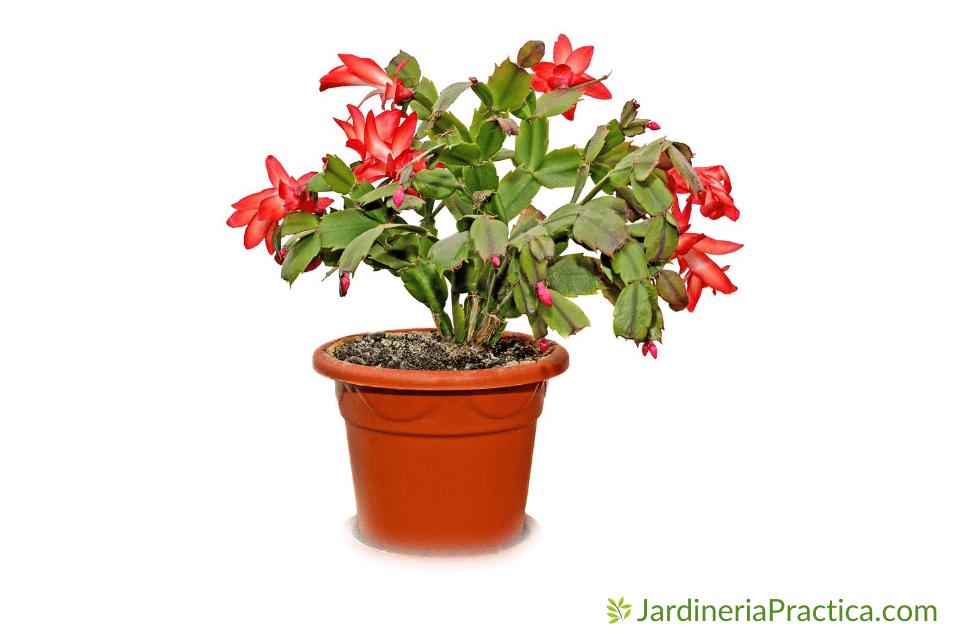 cactus de navidad - Schlumbergera truncata