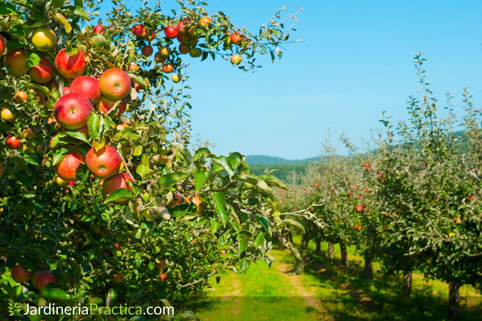 cosecha manzano