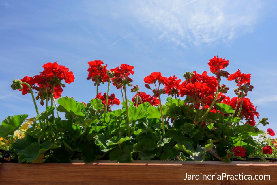 geranios para jardin