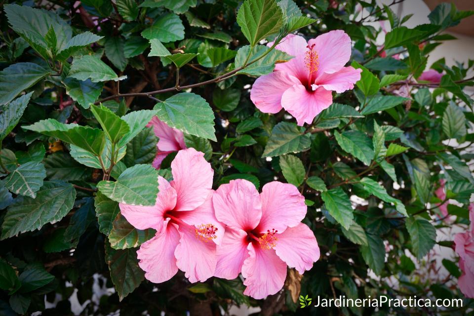 hibisco para jardin