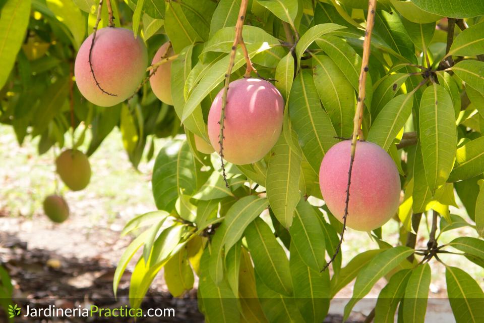 mangos tommy en arbol