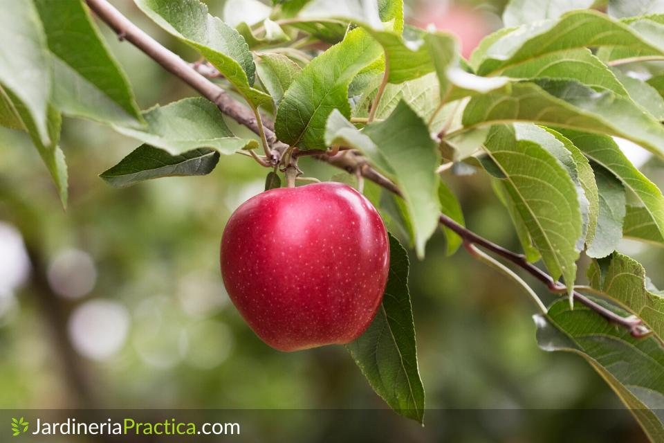 manzana en arbol