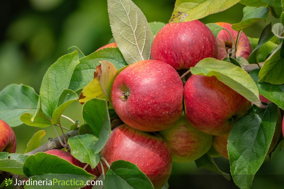 manzanas en arbol