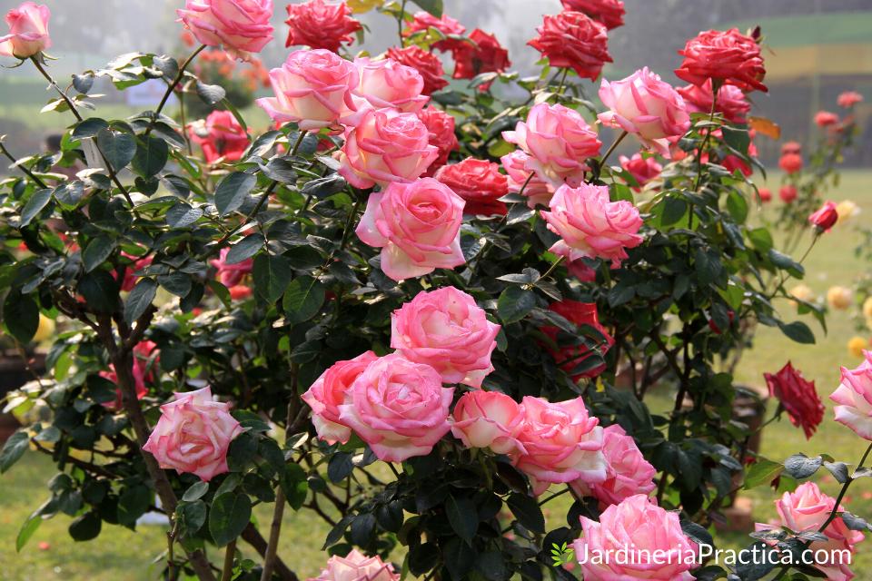 rosales para jardin