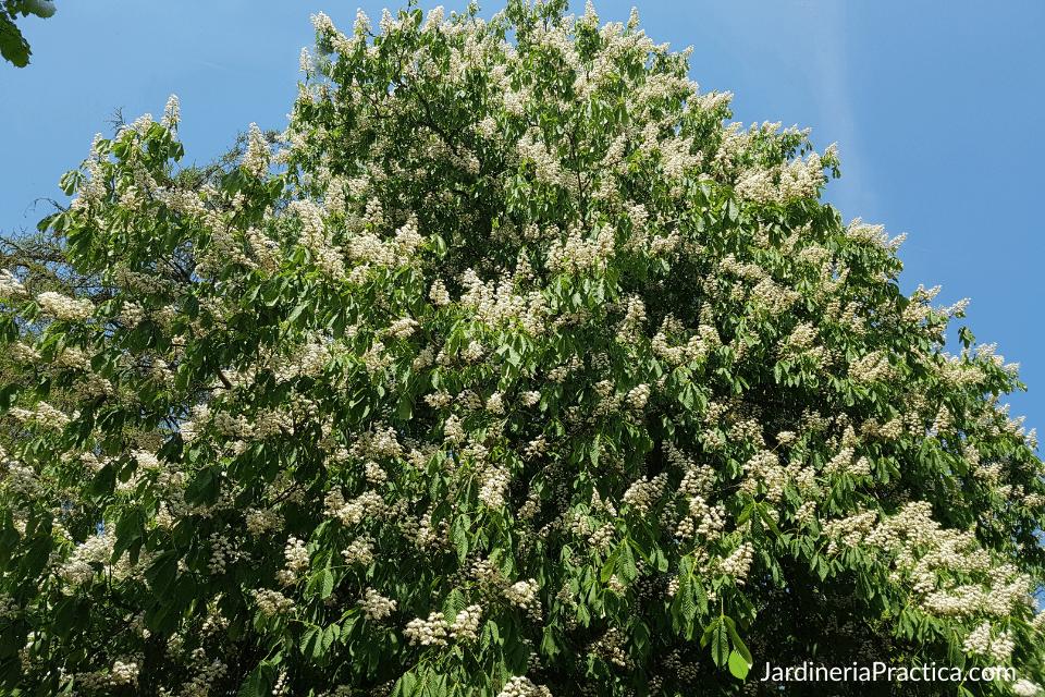 Castaño de Indias - Aesculus hippocastanum - arboles para jardin