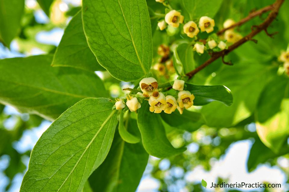 Diospyros - arboles para jardin
