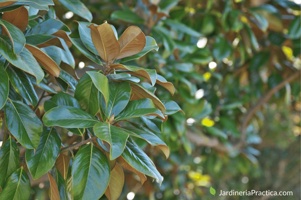 Magnolia grandiflora - arboles para jardin