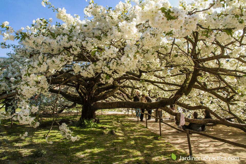 Prunus - arboles para jardin