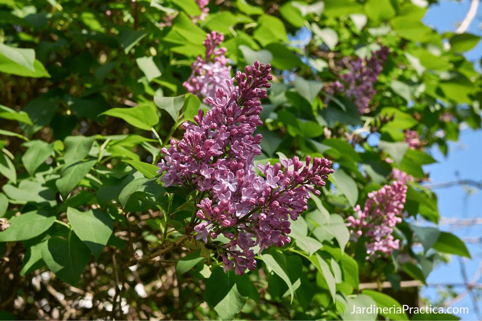 Syringa vulgaris - arboles para jardin
