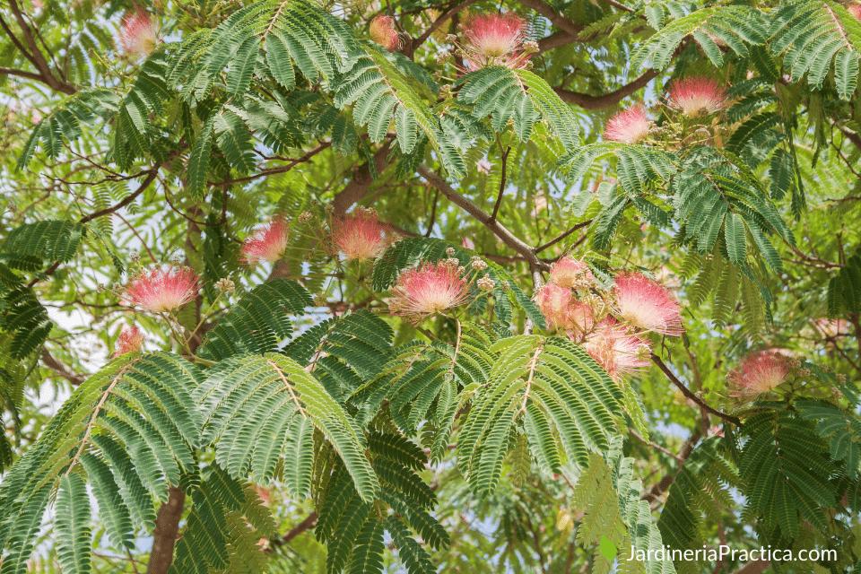 julibrissin - arboles para jardin